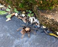 Tarantula walking on the edge of a driveway near some moss-covered rocks.