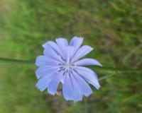 Blue flower on a green stalk. The end of the petals are toothed.