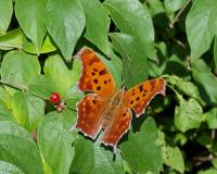 Orange butterfly with black spots sitting on a branch of green leaves