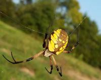 a spider with vivid yellow and black markings on its abdomen sits in the middle of its web. Its feet are perched on its web, feeling for an insect to land in its web.