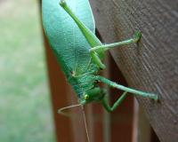 A large green katydid is perched on a deck railing. Its eyes are yellow on top and green on the bottom.