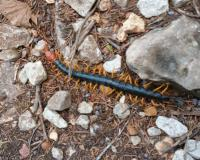 A large black centipede with yellow legs and a bright red head crawls on a rocky patch of ground.