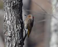 A female northern flicker is perched on the side of a tree. She lacks the characteristic black mustache of the male, but has a vivid red patch on the back of her head.