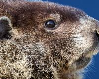 Closeup of a woodchuck's head. you can see its rodent teeth and small round ears.