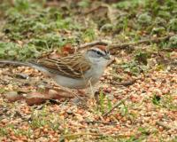 A small brown and gray bird with a chestnut crown is standing in a seed-strewn patch of ground.