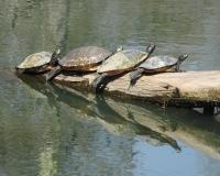 Four turtles sunning on a log. They are stacked domino-style.