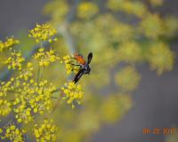 A black-winged fly with an orange abdomen feeds on bright yellow clusters of small flowers.