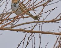 A small brown bird with a white front sits on a tree branch in winter.