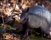 Close-up of an armadillo. The hair between its plates and its forepaws are clearly visible.