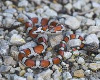 snake with red spots rears up as if to strike at the camera.