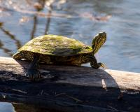 A moss-covered turtle suns on a log. Its red ear markings are visible, as are its long claws and webbed hind feet.