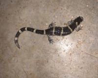 a black salamander with yellow stripes ringing its body crawls on a concrete floor