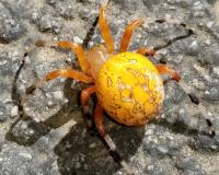 A spider with a large, round, bright orange-yellow abdomen