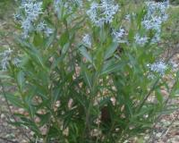 A green bushy plant with multiple blue star-shaped flowers stands in a rocky creek bed.