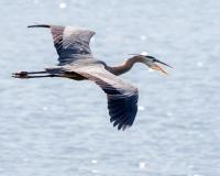 A great blue heron in flight. Its mouth is open as it calls.