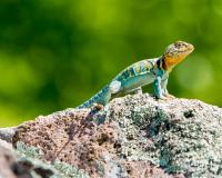 A male eastern collared lizard scans his surroundings on Taum Sauk Mountain