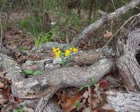 Hoary Puccoon in Taney Co