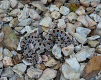 Western Pygmy Rattlesnake coiled up on rocks. Its head is towards the camera, but the distinctive brown stripe and black spots are evident.