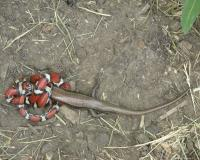 Red milk snake wrapped around a skink. It is beginning to swallow the head of the lizard.