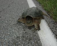 An alligator snapping turtle on the white line on the edge of a road.