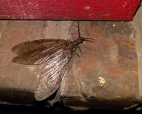 Photo of a fishfly perched on a brick window sill.