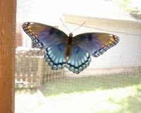 Large blue butterfly with red tips sits on a screendoor in suburban St. Louis