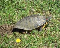 Red-eared slider laying eggs in Camden County