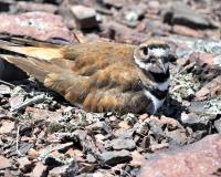 Killdeer sitting on rocky ground. Black and white striped breast is prominent.