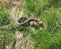 Plains Gartersnake near Jamesport at Woods Crossing