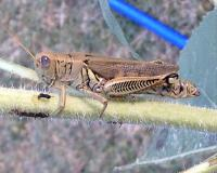 Grasshopper on a branch. It has violet eyes.