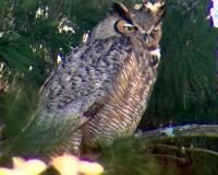 Great horned owl in Creve Coeur, MO