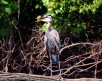 Great blue heron standing on a log. The long neck feathers and red coloration on legs are prominent.