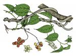 Illustration of American bittersweet leaves, flowers, fruits