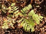 Photo of a bracken fern leaf against a background of forest-floor leaf litter