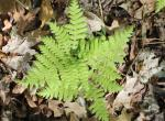 Photo of a broad beech fern