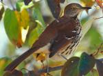 Photo of a brown thrasher perched amid tree branches.