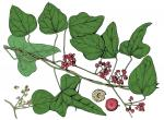 Illustration of Carolina moonseed leaves, flowers, fruits