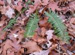 Photo of Christmas fern leaves lying against fallen oak leaves