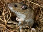 Photo of a deer mouse in its nest made of dry grasses