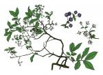 Illustration of deerberry leaves, flowers, fruits
