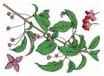 Illustration of eastern wahoo leaves, twigs, flowers, and fruit