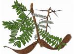 Illustration of honey locust leaves, thorns, fruit.