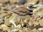 Photo of a killdeer standing on a chert gravel surface.