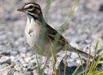 Photo of a lark sparrow walking on the ground