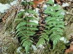 Photo of marginal shield fern with snow on the ground near it
