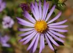Closeup of single flowerhead of a New World aster with yellow disk florets and lavender ray florets
