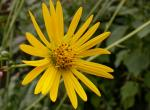 Photo of a prairie dock flowerhead