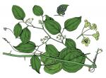 Illustration of round-leaved catbrier leaves, flowers, fruits
