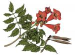 Illustration of trumpet creeper leaves, flowers, fruits.