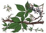 Illustration of virginia creeper leaves, stem, flowers, fruit.